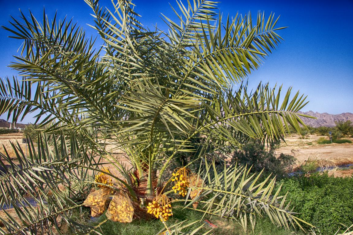 palm date in Afghanistan