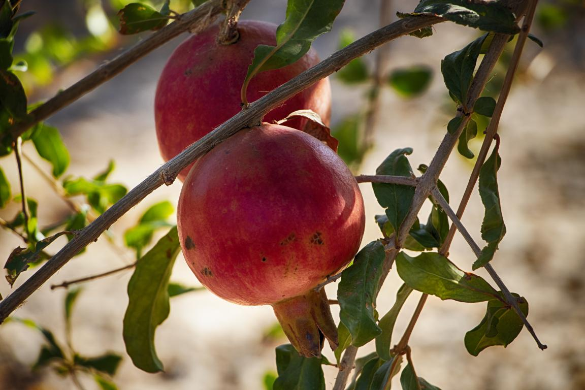 Pomegranate in Afghanistan